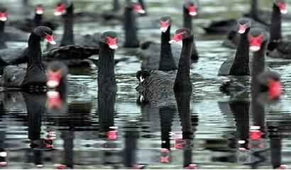 Wuhan China Swans Swan Winter Event Swim