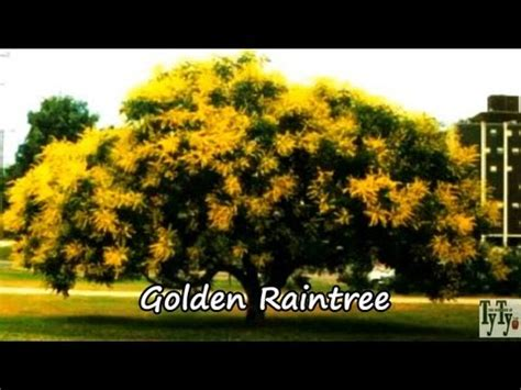 plant golden rain tree yellow  flowering tree