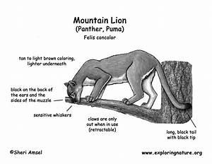 Mountain Lion  Panther  Puma  Cougar  Catamount