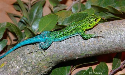 lizard species   extinct