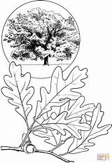 Oak Coloring Tree Drawings Printable Fall Drawing Pine Leaf Acorn Supercoloring Tattoo Trees Colouring Sketches Clipart Patterns Templates Introduction Template sketch template