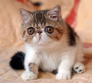 Exotic Shorthair Cats Kittens Sold Kittens Of Cattery