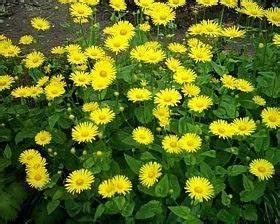 Bodendecker Gelb Blühend : pflanzlisten blumen pflanzen stauden pflanzenlexikon ~ Frokenaadalensverden.com Haus und Dekorationen