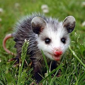 Image Gallery Opossum Habitat
