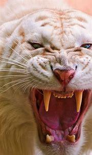 Wallpaper Roaring White Tiger, White Tiger, wild, fangs ...