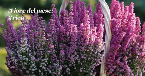 erica fiore le verzeletti news l erica 232 il fiore mese di ottobre