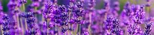 Mittel Gegen Läuse Auf Pflanzen : lavendel gegen l use pflanzen f r nassen boden ~ Michelbontemps.com Haus und Dekorationen