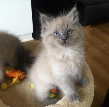 do ragdoll cats shed mooie blue mink ragdoll kater katten en kittens