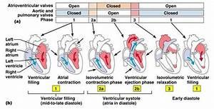 The Cardiac Cycle For Nclex
