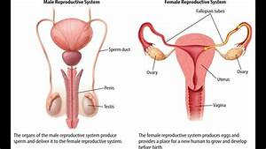 Side View Female Reproductive System - Bing