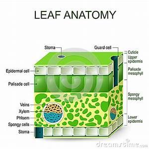 Leaf Anatomy  Vector Diagram  Stock Vector