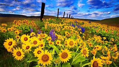 Sunflower Desktop Field Wallpapers Nature Sunflowers Computer