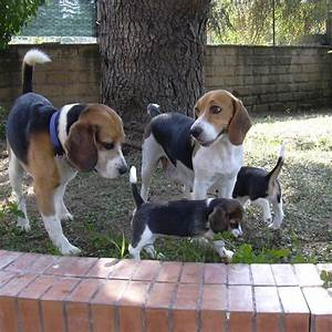 550 best Beagles images on Pinterest | Beagle, Beagle ...