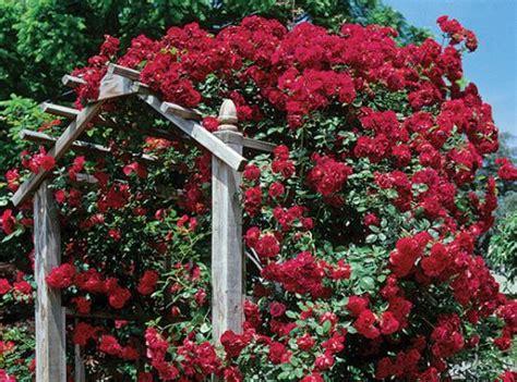 Blaze  Star Roses & Plants