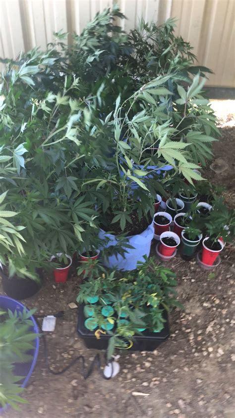 marijuana plants grow seized ms