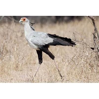 Secretary BirdBirdSouthern Africa...