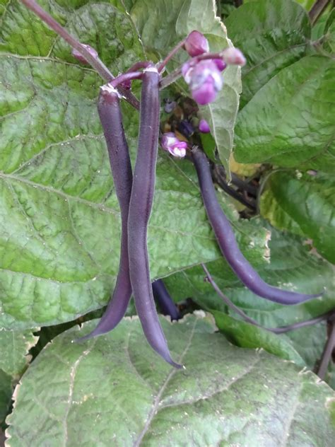 scientific gardener royal burgundy bush beans
