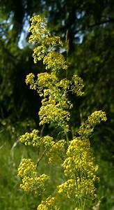 Gelbe Fensterrahmen Wieder Weiss : gelbe labkraeuter ~ Markanthonyermac.com Haus und Dekorationen