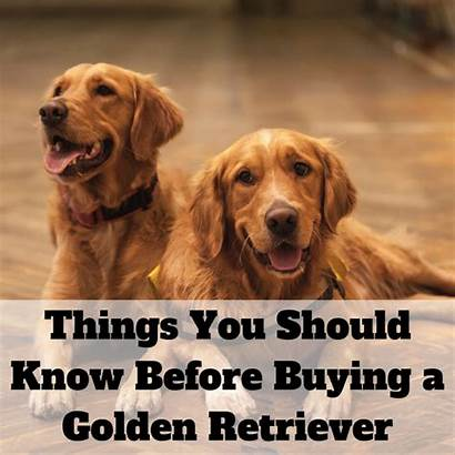 Retriever Golden Dogs Before Consider Puppy Retrievers