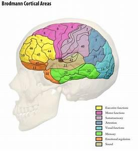 9 Best Brain Model Images On Pinterest