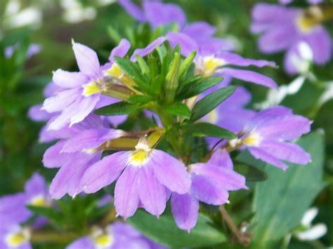plant types annual perennial annual lobelia plant grow lobelia urban garden design
