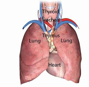 Thymus Gland Function And Location, Thymus, Get Free Image ...