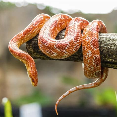 Perfect pet snakes for beginners   South China Morning Post