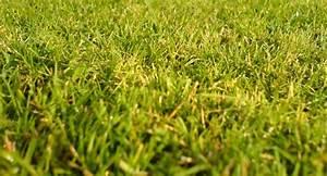 Gazon Pour L Ombre : un gazon parfait dans mon jardin le journal du jardin ~ Premium-room.com Idées de Décoration