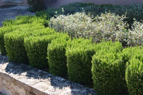 rosemary plant uk the rosemary hedge lavender s forgotten cousin hedge xpress