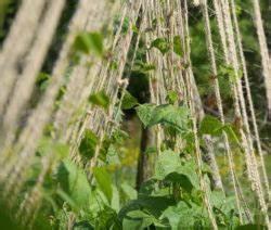 Zwiebeln Anbauen Anleitung : bohnen pflanzen anleitung zum anbauen von bohnen plantura ~ Yasmunasinghe.com Haus und Dekorationen