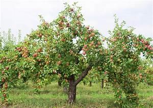 Arbres Fruitiers Nains En Pleine Terre : breuillet nature les pommiers ~ Premium-room.com Idées de Décoration