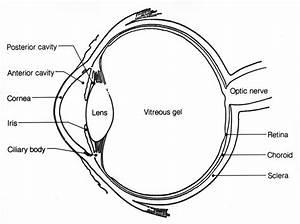 Anatomy Of The Eye  Human Eye Anatomy