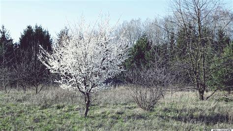 baum mit blüten die 75 besten wei 223 e hintergrundbilder