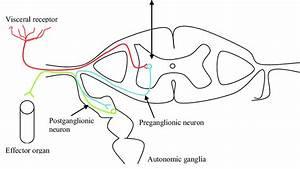 Reflex Arc Diagram Synapse