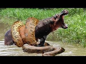 Giant anaconda snake vs animal Python vs elephant ...