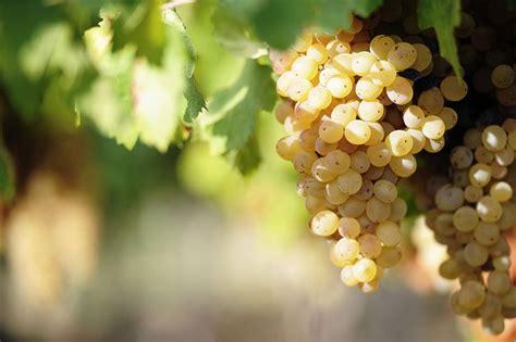 Vīnogu stādu audzēšana, Mēslošana, Vīnogu stādu apgriešana ...