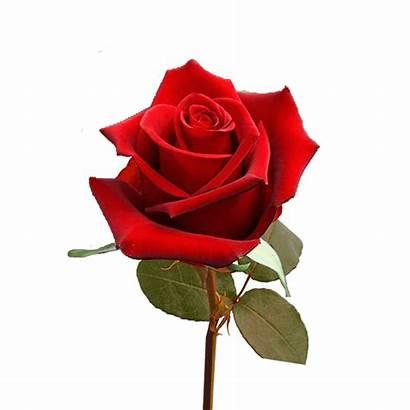 Single Valentine Roses Rose Flower Fundraiser Valentines