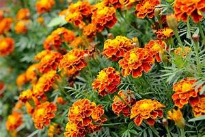 Sparky Mix French Marigold The Naked Seed Company