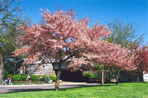 akebono yoshino cherry prunus  yedoensis akebono