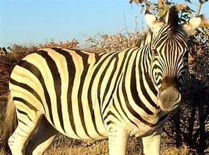 Vitesse Des Animaux : le z bre photos d 39 animaux sauvages en afrique australe ~ Medecine-chirurgie-esthetiques.com Avis de Voitures