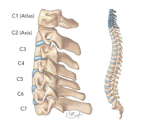 Sensory cranial nerves help a person to see, smell, and hear. Diagram Of Lower Back Bones - Anatomy Of The Spine Southern California Orthopedic Institute ...