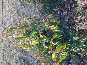 Kirschlorbeer Hat Braune Blätter : efeu woerneri hecke am laufenden meter g nstig online ~ Lizthompson.info Haus und Dekorationen