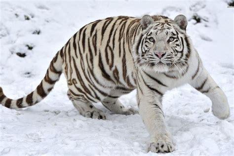 White Tiger Wallpaper Wallpapertag