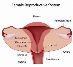 male and female reproductive system male and female ...