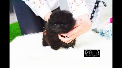 cute black pomeranian sparky rolly teacup puppies