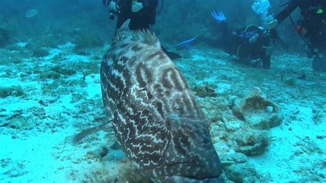 grouper cayman islands