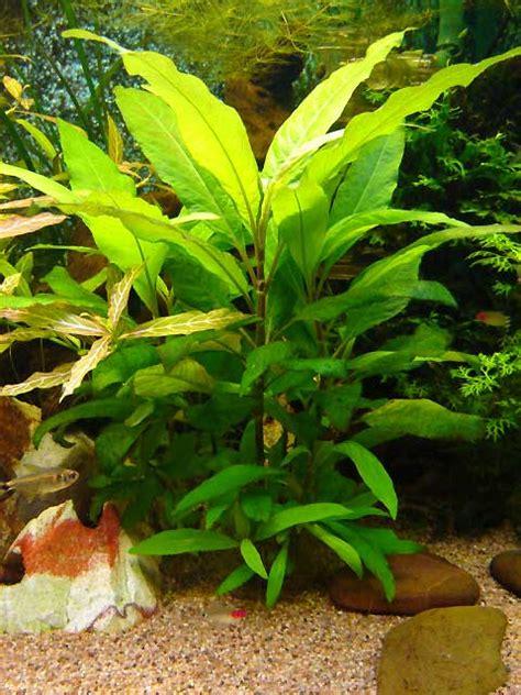 plante croissance rapide aquarium vends plante 224 croissance rapide hygrophila corymbosa 95