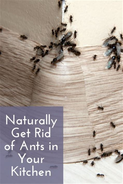 tiny ants in kitchen around sink getting rid of ants kitchen thinkingmeme org