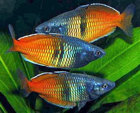 rainbow fish melanotaeniidae tropical fish