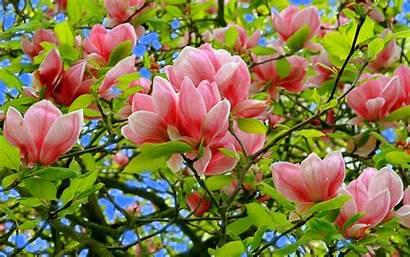 Magnolia Flower Flowers Desktop Blossom Tree Trees